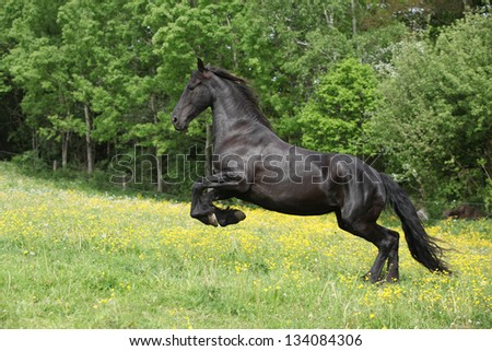 Friesian horse jumping in yellow flowers on pasturage in summer - stock photo