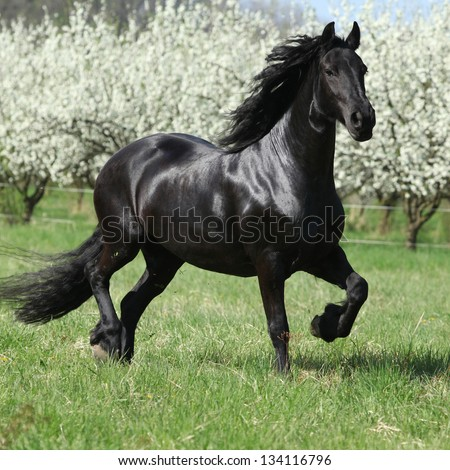 Friesian mare running in front of flowering plum trees