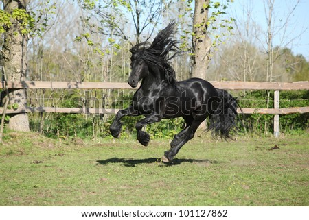 Friesian Horse Galloping Friesian Stallion Galloping