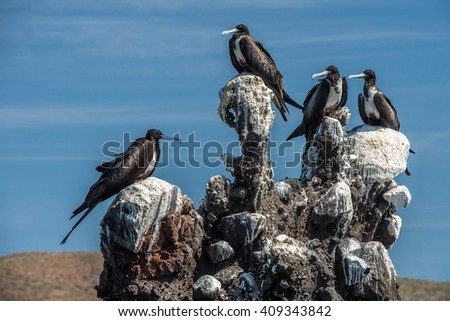 Frigate bird on the sky background in Baja California Sur Mexico