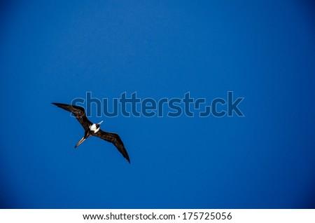 frigatebird - stock photo