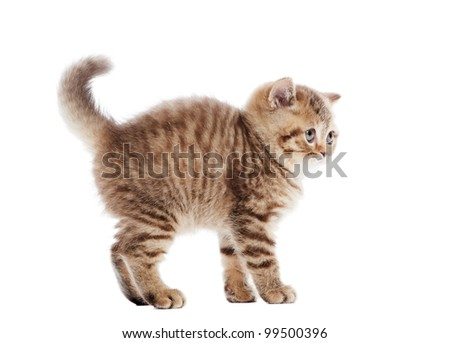 Frightened chocolate British Shorthair little kitten standing over white background - stock photo