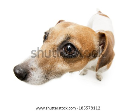 frightened dog with curious long nose. Whita background. Studio shot - stock photo