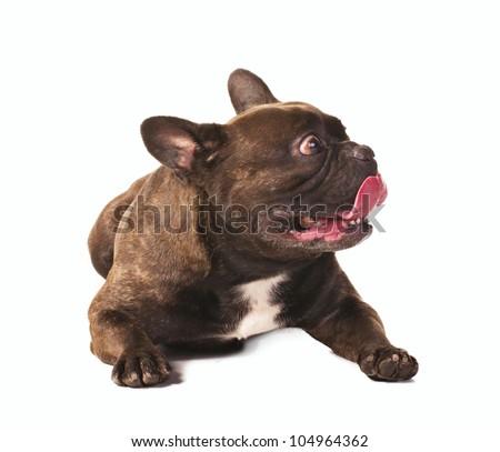 frightened french bulldog lying isolated on white - stock photo