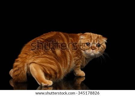 Frightened Ginger Scottish Fold Cat Looking back isolated on Black Background  - stock photo