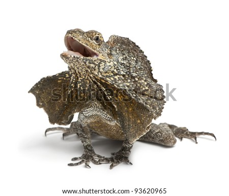 Frill-necked lizard, also known as the frilled lizard, Chlamydosaurus kingii, in front of white background - stock photo