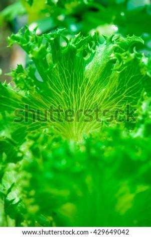 Frillice Iceberg Plant organic - stock photo