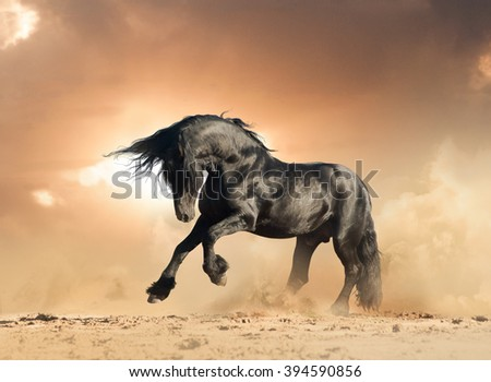 frisian stallion in the wild playing in sunset - stock photo