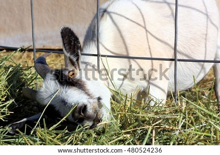 Frisky White Goat Grazing on the Grass Outside of His Pen