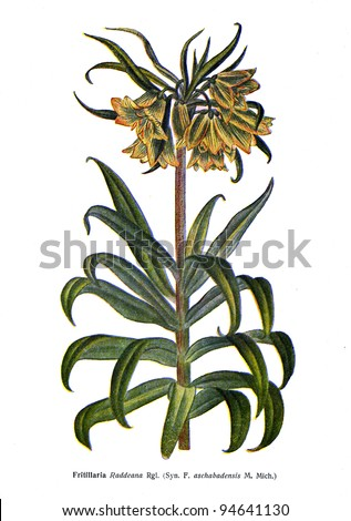 """Fritillaria Raddeana Rgl - an illustration from the book """"Species of flowers bulbes of the Soviet Union"""", Moscow, 1935 - stock photo"""