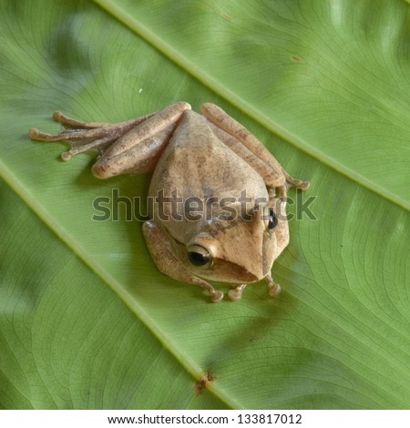 Frog at Khao Sok National Park, Thailand