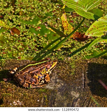 Frog brown with a green stripe on the back sits on on the edge of the old moss-covered wooden footbridge near overgrown pond. - stock photo