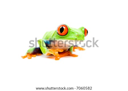 Frog closeup - a red-eyed tree frog (Agalychnis callidryas) isolated on white. - stock photo