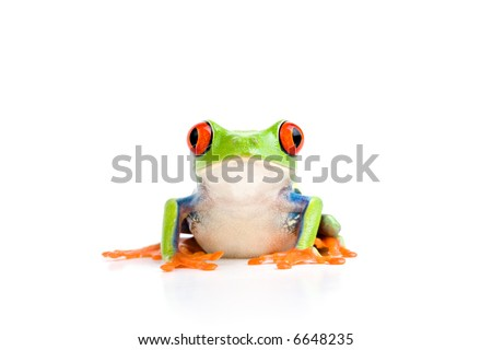 frog closeup - a red-eyed tree frog isolated on white - stock photo
