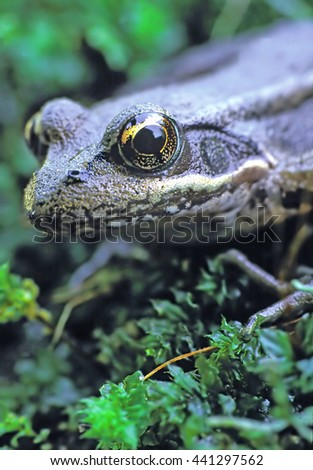 Frog - Closeup of a frog with focus on the eye. - stock photo