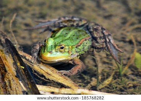 Frog floating in a pond