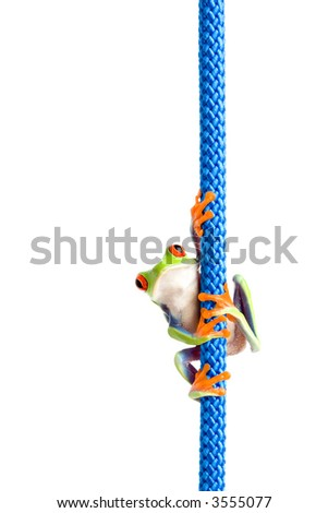 frog hanging on a rope - a red-eyed tree frog (Agalychnis callidryas) hanging on a blue rope, closeup isolated on white - stock photo