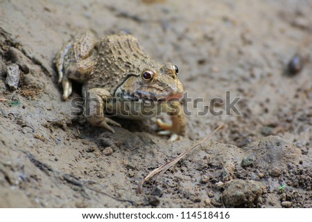 Frog(Hoplobatrachus rugulosus) in the field of Thailand