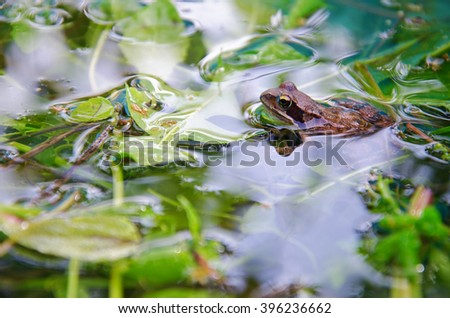 Frog in a pond looking out of the water, ranidae, side view - stock photo
