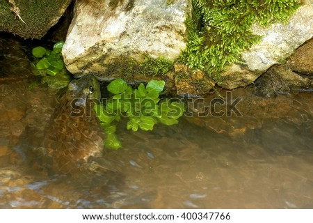 frog in creek - stock photo