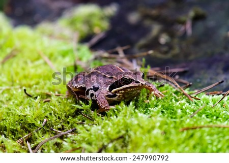 Frog in its natural habitat in a woodland, wild frog - stock photo