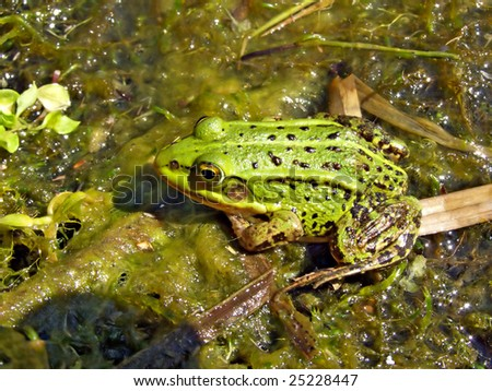 frog in marsh - stock photo