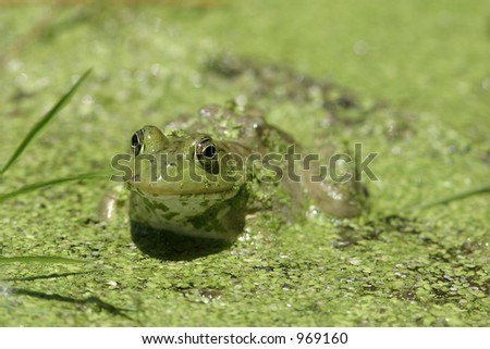 Frog in pond - stock photo