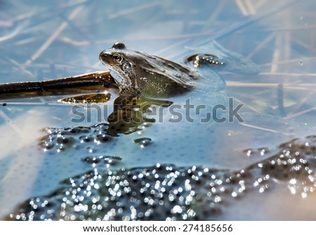Frog in the middle of frog spawn - stock photo
