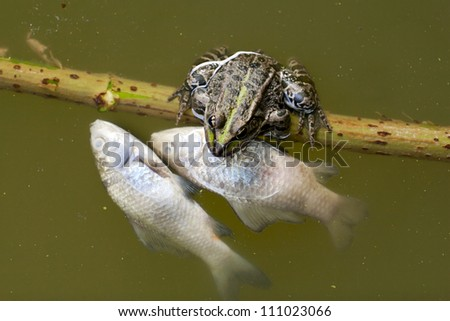 Frog in the pond dead fish are contaminated. - stock photo