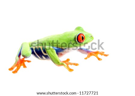 frog isolated on white - a red-eyed tree frog (Agalychnis callidryas) closeup side