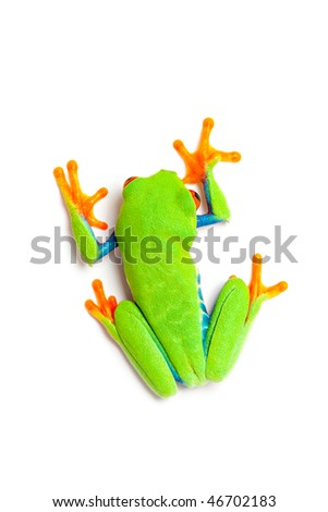 frog isolated on white - top view of a red-eyed tree frog (Agalychnis callidryas) - stock photo