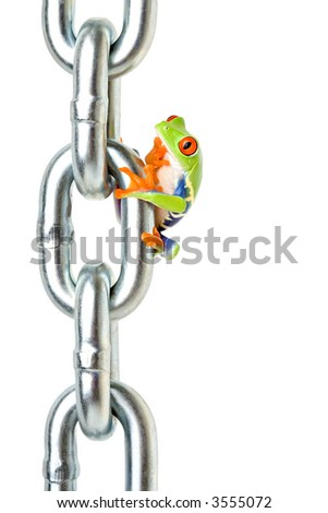 frog on a chain isolated on white, a red-eyed tree frog (Agalychnis callidryas) perhaps wondering how he's going to get back down, lol - stock photo