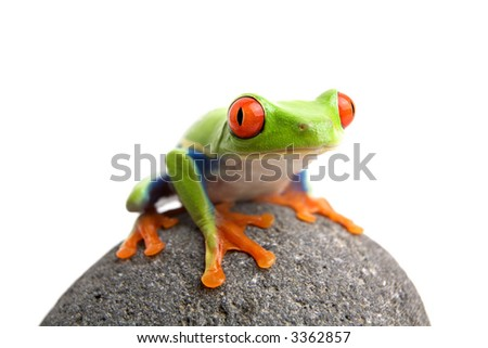 frog on a rock, closeup of a red-eyed tree frog (Agalychnis callidryas) sitting on a rock, isolated on white - stock photo