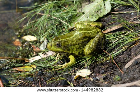 Frog on the algae in the pond - stock photo