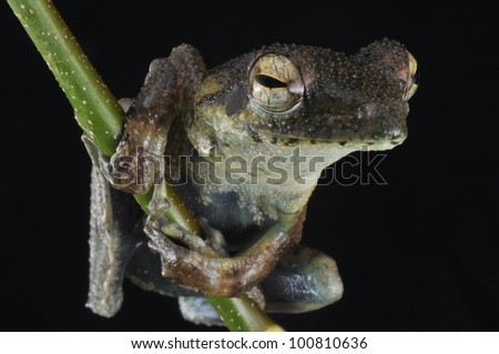 Frog on twig holding on from Ghana.