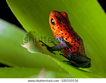 frog red strawberry poison dart frog on border of panama and costa Rica poisonous animal of tropical rainforest in early sun light - stock photo