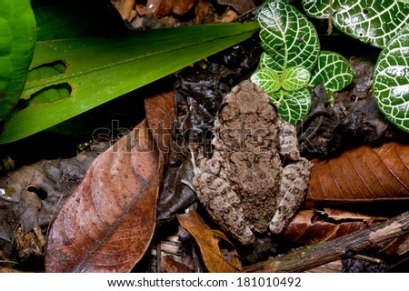 frog sitting in dead leaves top view - stock photo