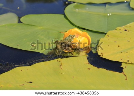 Frog sitting on the water flower  - stock photo