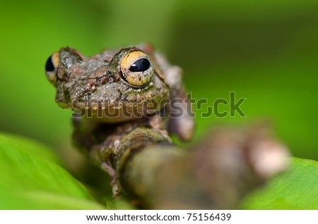 Frog ( Unknown scientific name )