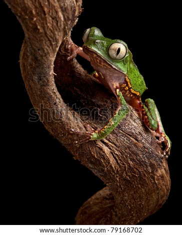 frog with big eyes on branch in Brazil amazon rain forest tree frog Phyllomedusa vailanti at night in tropical jungle crawling up nocturnal treefrog beautiful animal macro copy space black background - stock photo