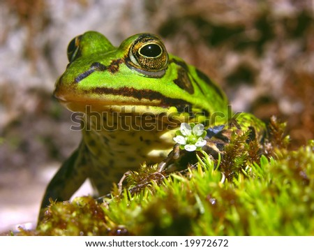 Frog with ring - big Pool Frog - stock photo
