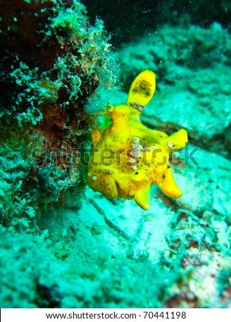 Frogfish at sipadan. - stock photo