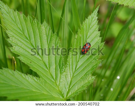 froghopper on a blackberry leaf - stock photo