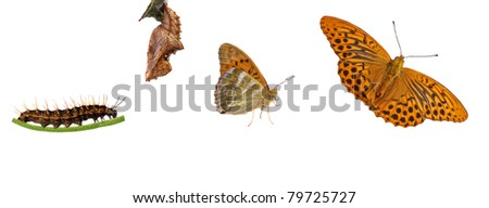 From caterpillar to butterfly, rare silver-washed fritillary, arygnnis paphia metamorphosis - stock photo