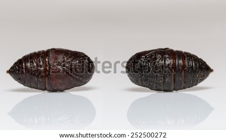 Front and back pupa of Eupterotidae moth - stock photo