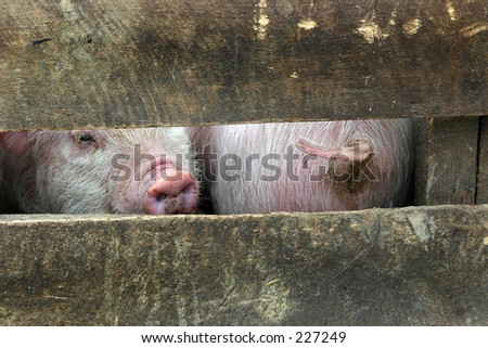 Front and behind of two pigs - stock photo