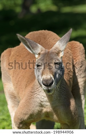 Front detail view of a kangaroo in outdoors - stock photo