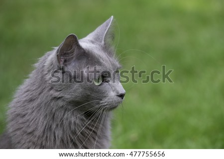 Front of a rare Nebelung cat with green eyes. Focus on eyes, nose and whiskers