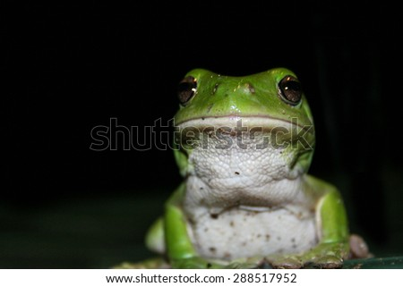 Front on view of green tree frog at night.