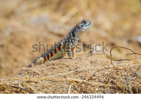 Front side close up of Butterfly lizard(Leiolepidinae) in nature in Thailand - stock photo